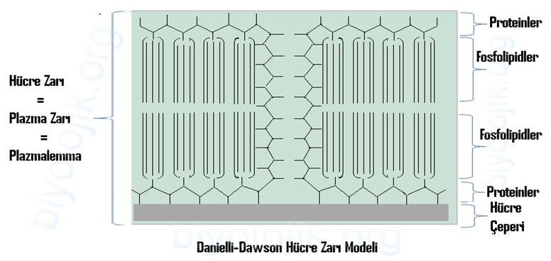 Danielli-Dawson Modeli
