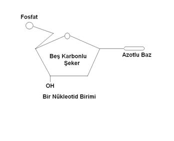 Nükleotid Birimi